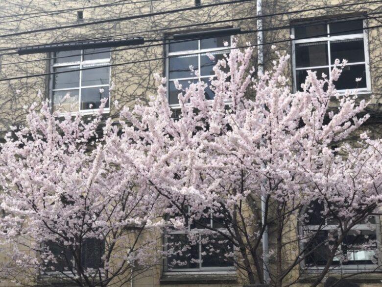 サロンの前に咲く桜